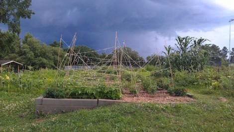 Trellising system in the community garden. Photo by Sheryl Cornett.