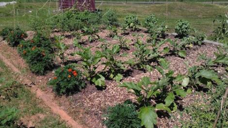 Rows of veggies in the community garden. Photo by Sheryl Cornett.